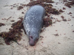Russia: 317 carcasse di foche morte non si sa dove e perchè