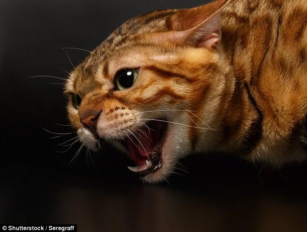 Gatto Bengala Allarme Attacca E Uccide Gli Altri Gatti