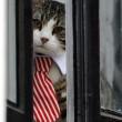 Assange interrogato da pm Svezia in ambasciata: la vera star è il gatto in cravatta 2