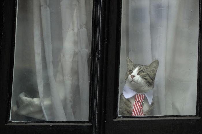 Assange interrogato da pm Svezia in ambasciata: la vera star è il gatto in cravatta 4