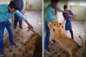 Mai giocare con una leonessa come fosse un gattino. Ne sa qualcosa questo ragazzo