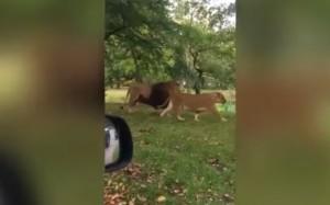YOUTUBE Bimbo vede un leone e inizia a vomitare (sulla mamma)