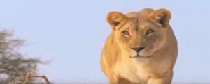 Leone vs giraffa: la lotta, questa volta finisce in modo insolito