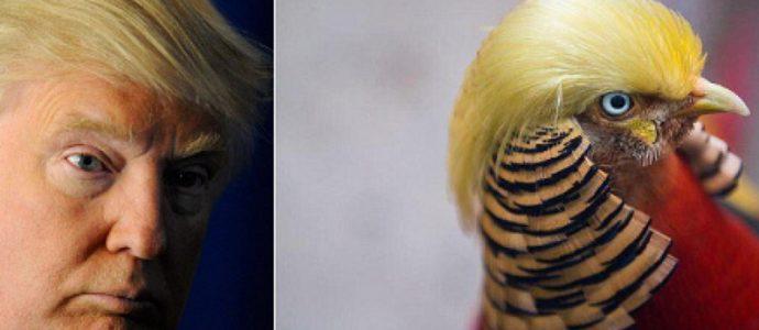 Little Red il fagiano cinese sosia di Donald Trump FOTO