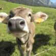 Sydney, costretto ad avere rapporti con una mucca: deriso da amici e colleghi