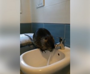 Theo, la nutria intelligente che si lava nel bidet VIDEO