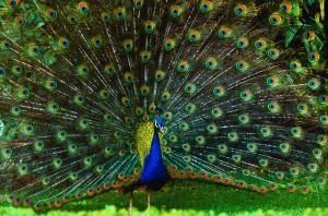 Maschio competitivo: essere appariscenti può portare all'estinzione