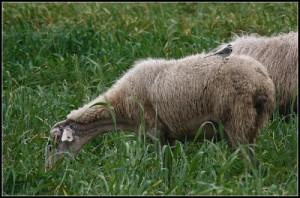 Roma: passa gregge di pecore, traffico bloccato