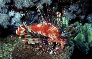 Pesce scorpione, l'alieno velenoso che invade i mari italiani