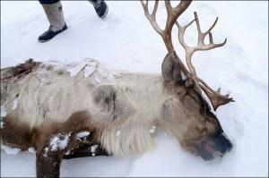 Guarda la versione ingrandita di Cambiamenti climatici, in Siberia 80mila renne morte. A rischio anche l'uomo