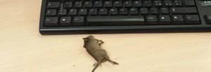 Roma, topo morto sulla scrivania dell'ufficio anagrafe