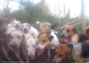 Cani sbranano volpe malgrado sia vietata la caccia in Inghilterra6