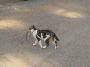 Gatto col topo in bocca in zona Cassia