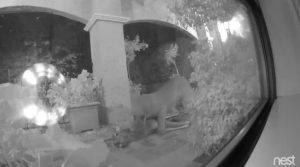 YOUTUBE Puma sbrana cervo...sulla veranda di una casa a San Francisco