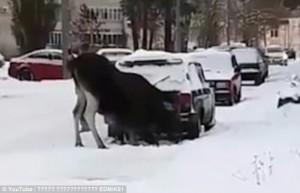 Russia, alce sotto la neve si scalda col tubo di scappamento di un'auto 4