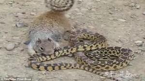 Scoiattolo africano contro serpente chi vince77