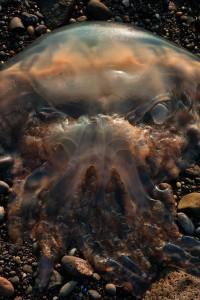 Scozia, medusa mostro assomiglia a Predator