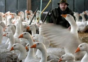 Francia, sos aviaria negli allevamenti di anatre: foie gras a rischio