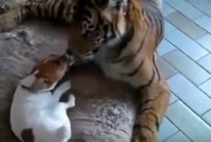 VIDEO YOUTUBE Jack Russell e la tigre: l' inaspettata amicizia