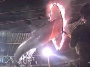 YOUTUBE Delfini saltano in cerchi di fuoco al circo