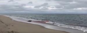 YOUTUBE Foca grigia ferita a morte raggiunge spiaggia: sangue cola in mare