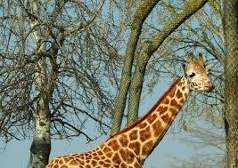 """Giraffe a rischio estinzione: sterminate per la carne e cervello """"anti-Aids"""""""