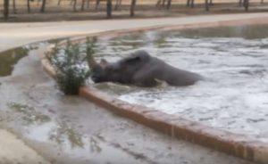 YOUTUBE Rinoceronti rivali in amore, uno finisce nel laghetto. Fortuna che arriva l'ippopotamo...