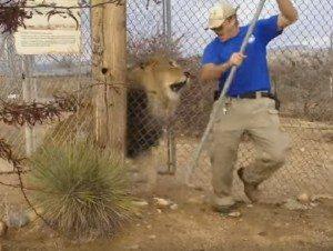 YOUTUBE Leone cerca di mangiarsi il custode dello zoo