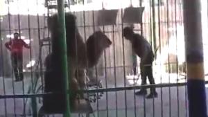 YOUTUBE Leone attacca e sbrana il domatore al circo di Alessandria