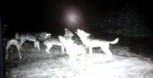YOUTUBE C'è la luna piena, ululato dei lupi è da spavento VIDEO