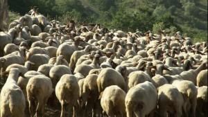 Investe gregge di pecore: una muore, altre vengono abbattute