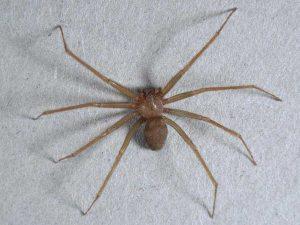Morsa da ragno velenoso, medici non lo riconoscono: rischia necrosi della gamba