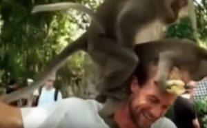 scimmie-indonesia