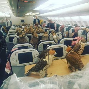 Ottanta falchi viaggiano a bordo di un aereo di linea