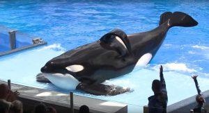 Addio a Tilikum, l'orca assassina di SeaWorld aveva 36 anni