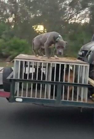 Cane viaggia in autostrada incatenato su una gabbia