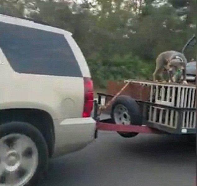 Cane viaggia in autostrada incatenato su una gabbia 5