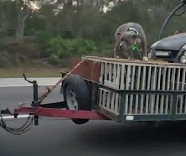 Cane viaggia in autostrada incatenato su una gabbia 4