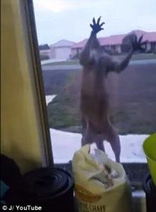 Canguro prova a sfondare la finestra di una casa