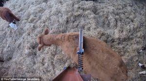 Ecco come far grattare la schiena ad una mucca