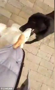 Oca attacca al cappotto: cane l'afferra per il collo e l'allontana5