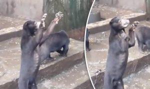 """Orsi scheletrici nello """"zoo della morte"""" indonesiano12"""