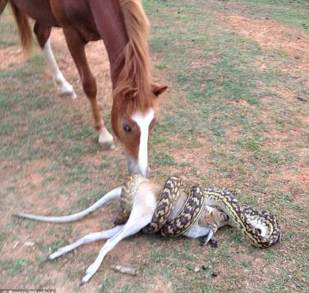 Pitone ingoia wallaby intero VIDEO spettacolare 4