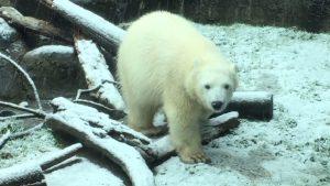 Orso polare si gode la prima nevicata del 2017