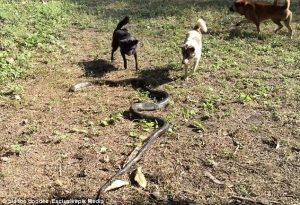 Quattro cani proteggono il padrone dall'attacco del cobra