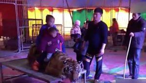 YOUTUBE Cina, tigre siberiana tenuta legata allo zoo per far fare le foto ai bimbi