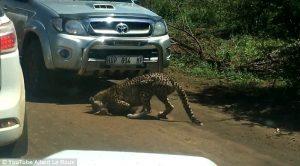 Sudafrica, baby impala sbranato da ghepardo davanti ai turisti 12