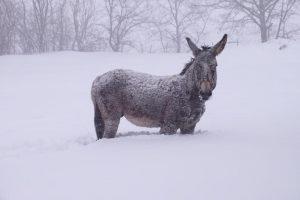 Terremoto e gelo, animali sepolti dalla neve nelle Marche FOTO