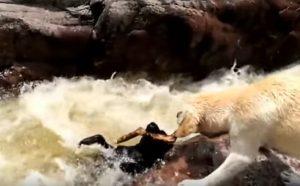 YOUTUBE Cane salva il suo amico (cane) che sta affogando
