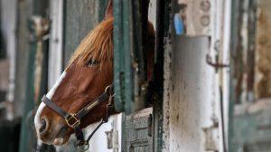 Niente ragni o meduse: in Australia l'animale più letale è il cavallo